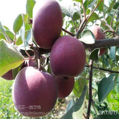 山东苹果树苗 苹果苗批发 种苗成苗批发