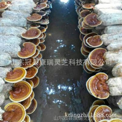 基地大量批發靈芝菌種 產地直銷 多個品種靈芝菌棒 免費技術指導