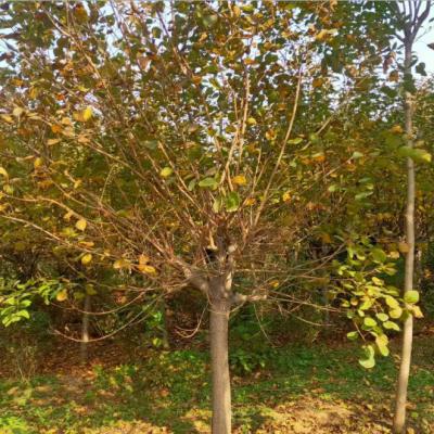 黄栌基地批发 2公分3公分黄栌小苗 4公分5公分黄栌树直销价格