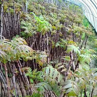 香椿树苗供应 1公分2 3 4 6公分,出售香椿苗-正一园艺场