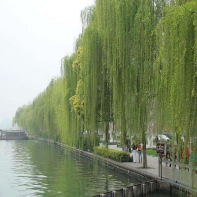 山东垂柳批发基地 垂柳树苗价格 现货出售1-10公分垂柳树