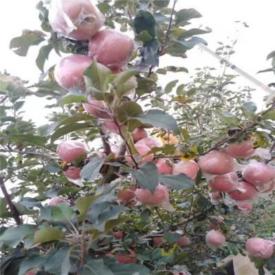 新品种红富士苹果苗 1公分瑞雪苹果苗批发 正一 货源充足