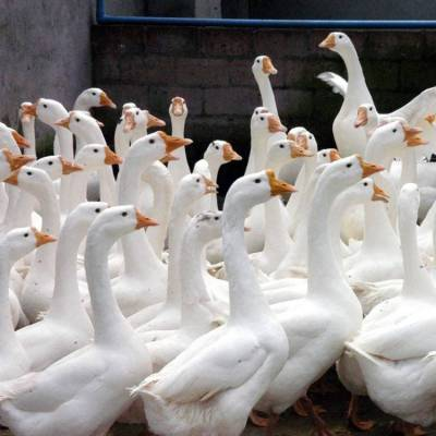 黑龙江鹅雏鹅苗批发 吉林大种鹅苗鸭苗价格 孵化场三花鹅苗供应