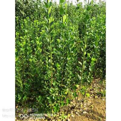 北海道黄杨树多少钱 正一园艺场直销,北海道黄杨树