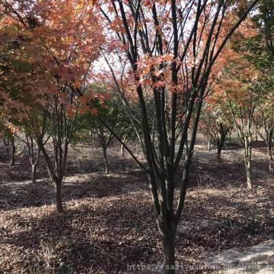 绿化鸡爪槭小苗 源头工厂 供应红叶鸡爪枫