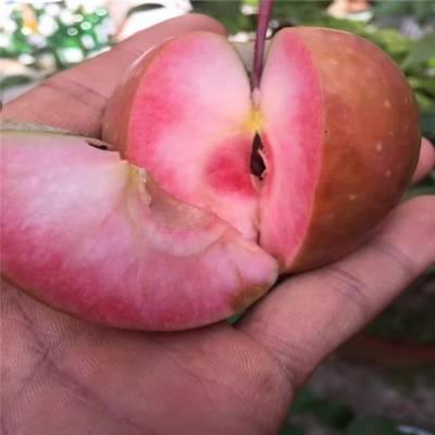 烟富10苹果树 全红瑞阳苹果树 正一 现挖现卖