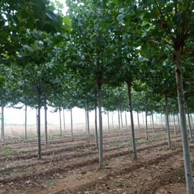 法桐树批发 速生法桐价格 6公分8公分10公分12公分法桐树苗批发