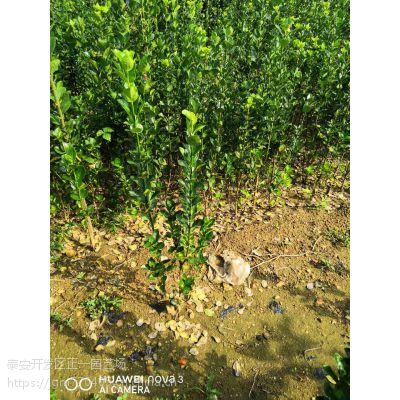 北海道黄杨树多少钱 正一园艺场,北海道黄杨苗
