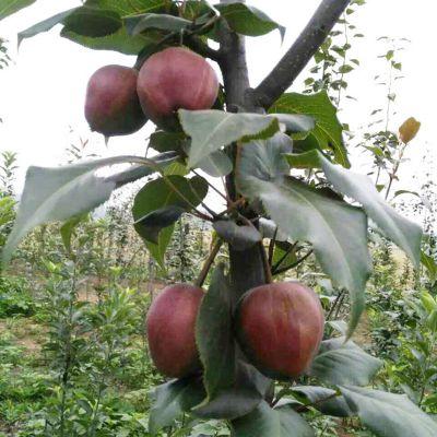 2公分梨树苗 早酥红梨树苗货源地 清地处理秋月梨树苗 清地处理梨树苗一亩种多少