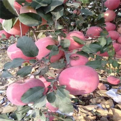 烟富8苹果树 众成1号苹果树树 正一 品种***