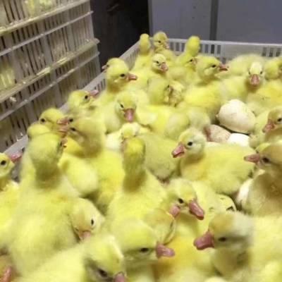 大型孵化场***鹅苗批发出售 襄樊***鹅苗批发 ***三花鹅苗批发供应
