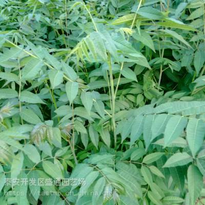 出售香椿种苗 价格咨询当年香椿种籽批发