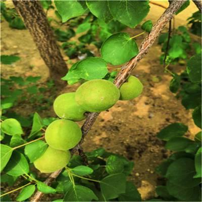杏苗、杏子苗杏树苗价格_新品种杏树苗基地_泰安杏树苗品种好