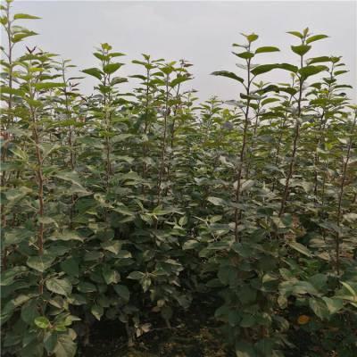 黑钻苹果苹果树品种 黑苹果树种植要点 正一 货源充足