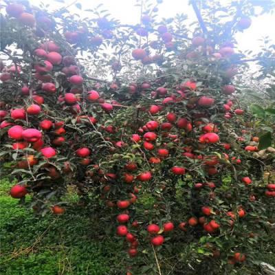 早熟苹果树品种 瑞雪苹果树出售基地 正一 大量***