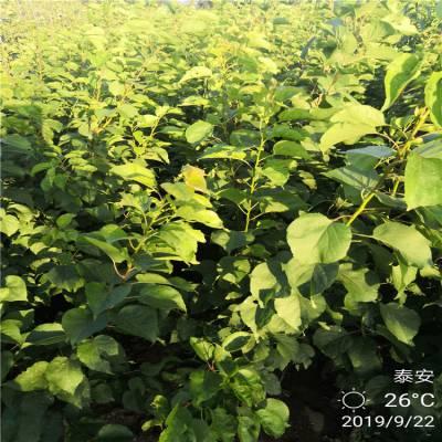 ***供应高产保收珍珠油杏树苗 现挖现卖抗旱抗寒红荷苞杏树苗