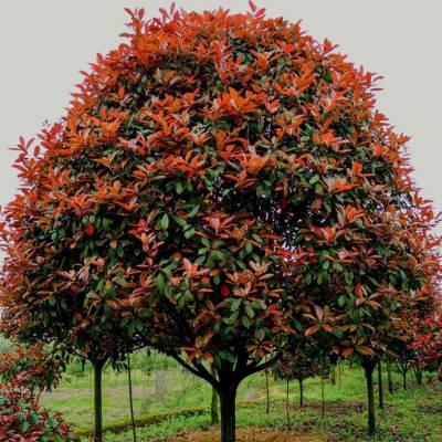 北京红叶石楠球树***价格表 高杆红叶石楠树苗 红叶石楠球工程绿化苗木