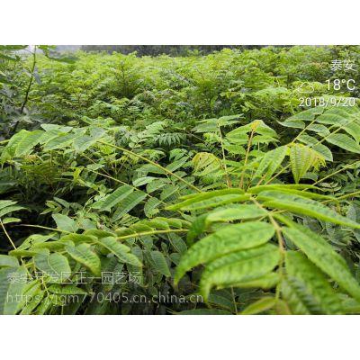香椿树苗批发 品种纯效益高/出售香椿苗-正一园艺场