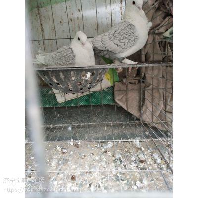 供应观赏鸽一对多少钱?元宝鸽价格
