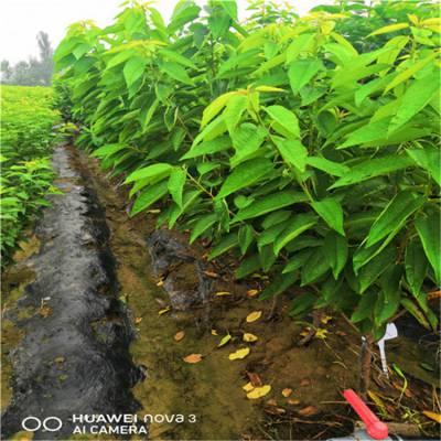 樱桃苗_罗娅名樱桃苗_适合南方种植的樱桃苗_种植技术全程免费指导