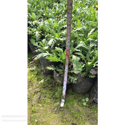 成都各种时令草花批发基地 木春菊工程绿化苗子基地