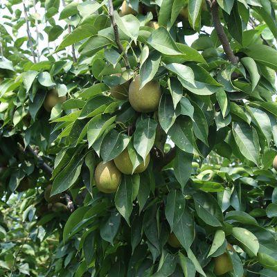 山东秋月梨树苗 全红梨树苗一亩种多少 低价出售全红梨树苗 低价出售梨树苗批发