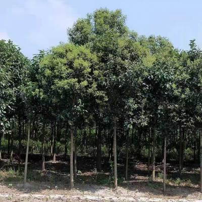 无锡大叶女贞景观树供应,3公分到25公分绿化苗木大叶女贞