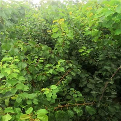 杏树苗价格3公分杏树苗批发_品种纯正买的放心_易成活好管理