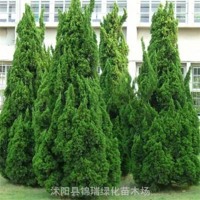 4米龙柏价格 优质龙柏批发 产地龙柏树性价比高