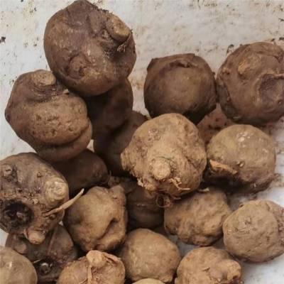 云南魔芋种子全国发货批发价格