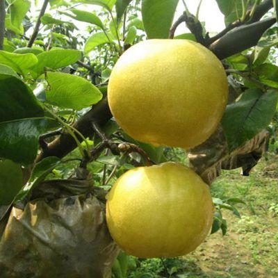 1公分早酥红梨树苗 全红梨树苗基地 山东全红梨树苗 梨树苗一亩种多少