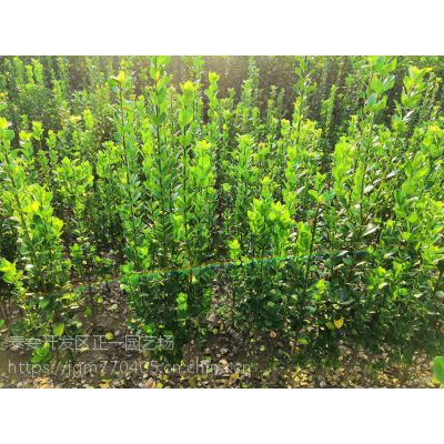 北海道黄杨小苗 正一园艺场供应,哪里卖北海道黄杨