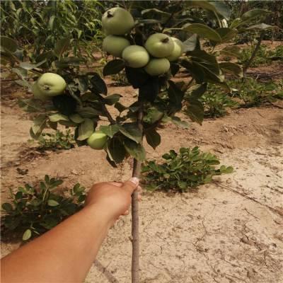 瑞香红苹果苗价格 鸡心果苹果苗 正一 货源充足