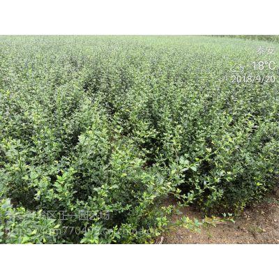 0.5公分枸橘苗基地 30-70公分高枸橘小苗