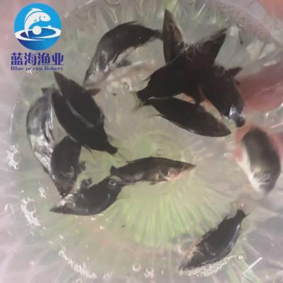 連云港長體鱖魚 花鯽魚指導養殖 協助回收 供應鰲花魚苗