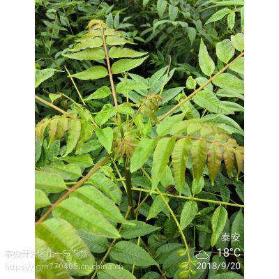 香椿苗价钱 规格齐全,价格便宜,香椿树苗哪里有卖-正一园艺场