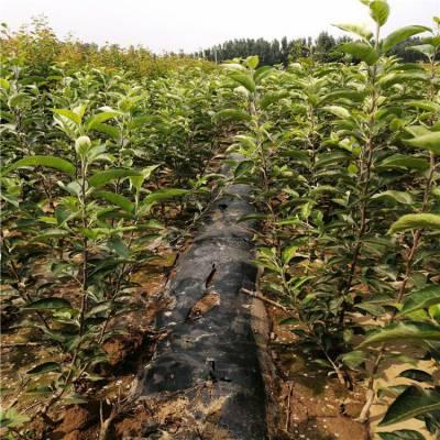 烟富10苹果树 1-3公分小苹果树 正一 当年结果