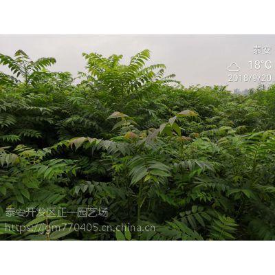 香椿苗供应 规格齐全,价格便宜,香椿树苗批发价格-正一园艺场