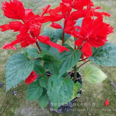 一串红草花基地现货,青叶红花一串红,时令草花基地