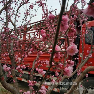 美化缘 庭院地栽梅花供应 绿化苗木杏梅树 园林绿植