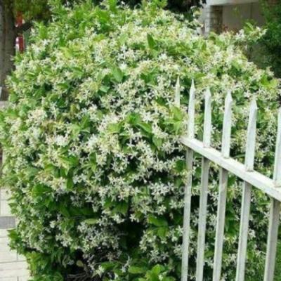 江苏凌霄绿化工程用苗 铸造辉煌 成都卉美园林工程供应