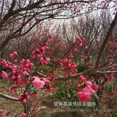 美化缘 嫁接原生杏梅树苗供应 观赏植物杏梅小苗 成活率高