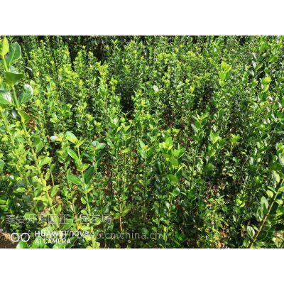 北海道黄杨基地 正一园艺场直销,哪里卖北海道黄杨