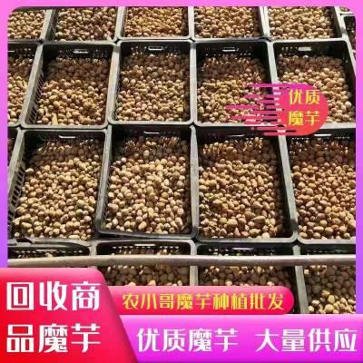 贵州黔东魔芋种子开沟魔芋种子批发现货供应