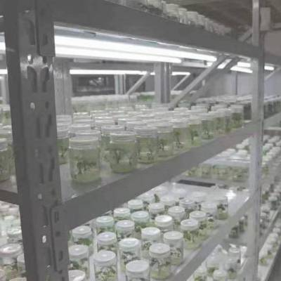 开封小马脱毒红薯苗基地品种齐全品质保证
